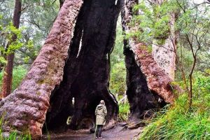 Margaret River Wineries Caves Ocean and Karri - Air  Ground Tour - Accommodation Melbourne